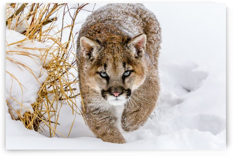 Sneaky Cougar by Mike Centioli  by 1x