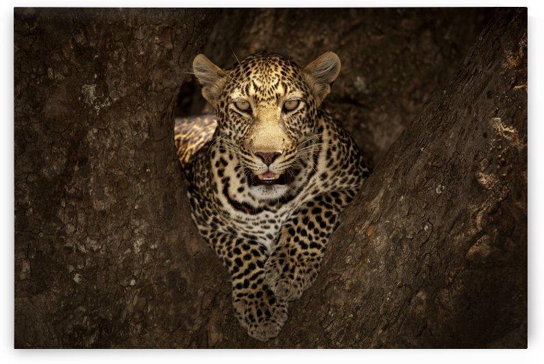 Leopard Resting on a Tree at Masai Mara by 1x