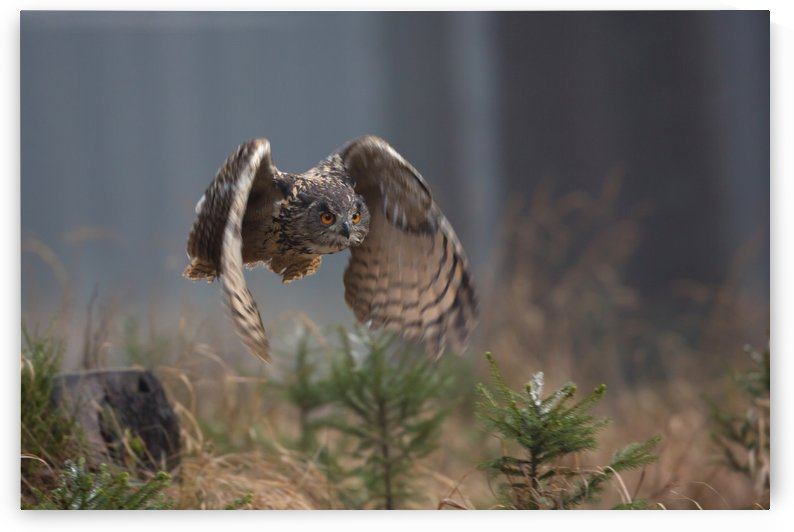Eurasian Eagle-Owl by Milan Zygmunt  by 1x