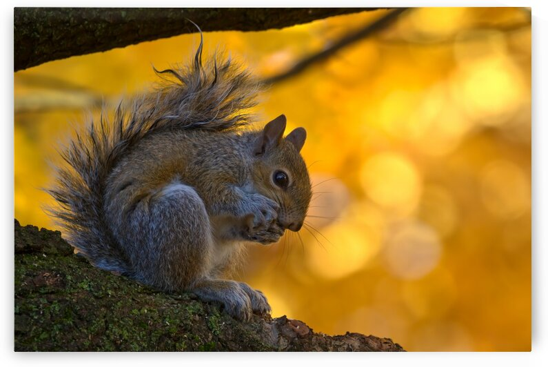 Grey Squirrel by Peter Pasterczyk
