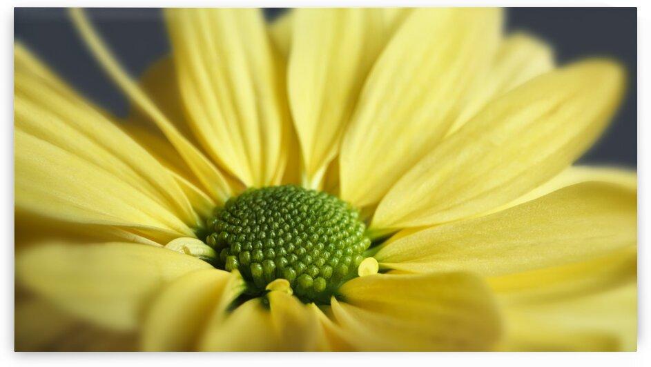 Yellow Daisy by Adrian Brockwell