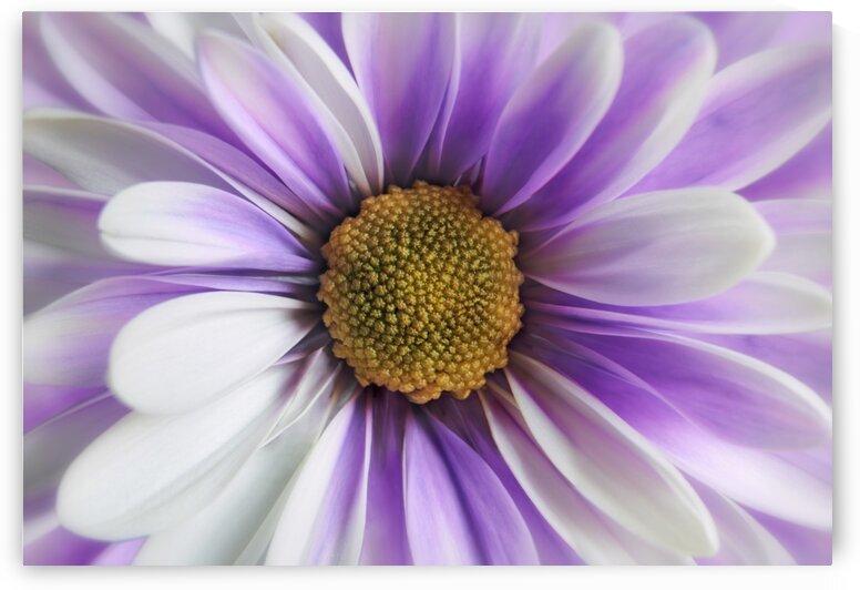 Purple Daisy by Adrian Brockwell