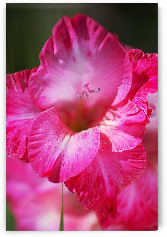 Gladioli Cantate Lush Pink by Joy Watson