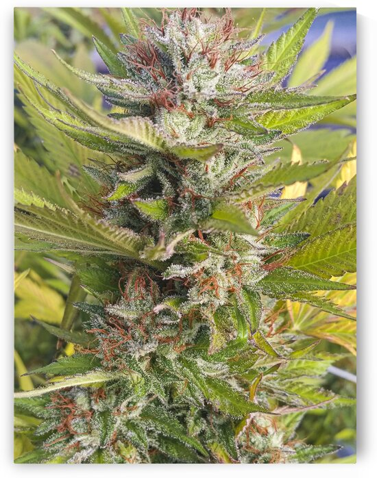 Skywalker OG Marijuana Plant  by Emily Novak