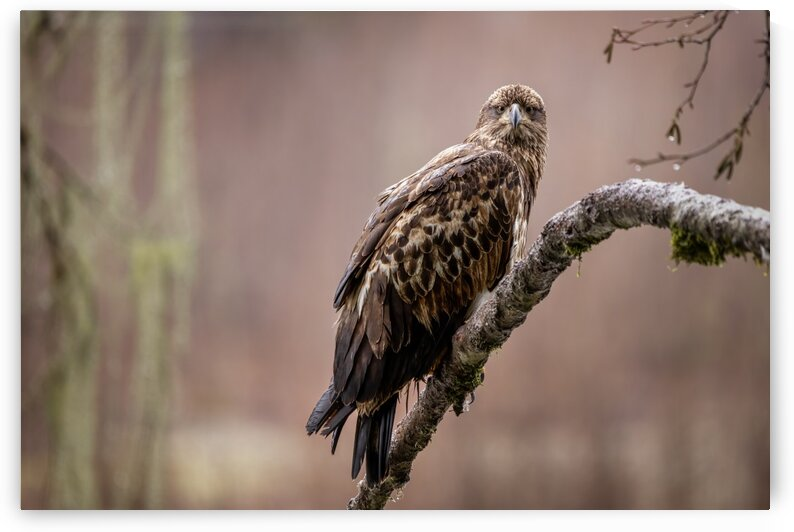 Young Eagle by Pete Nuij Photography