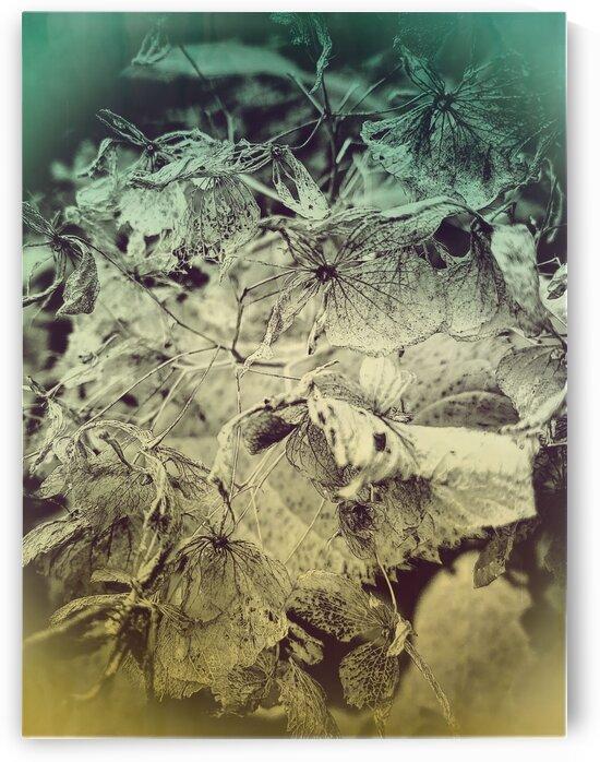 Hydrangea Skeleton by BotanicalArt ca