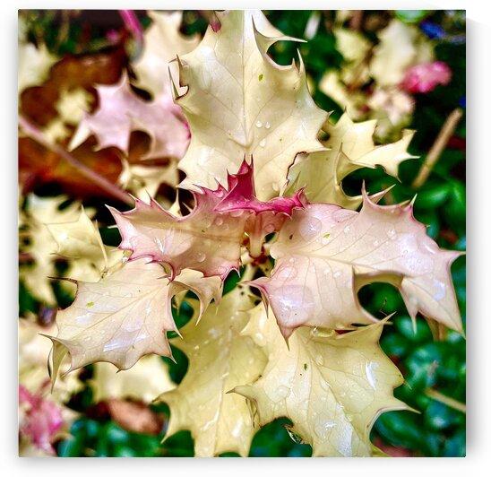 White Holly by BotanicalArt ca