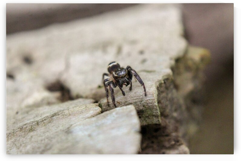 Jumping Spider 9026 by Eric W Reynolds