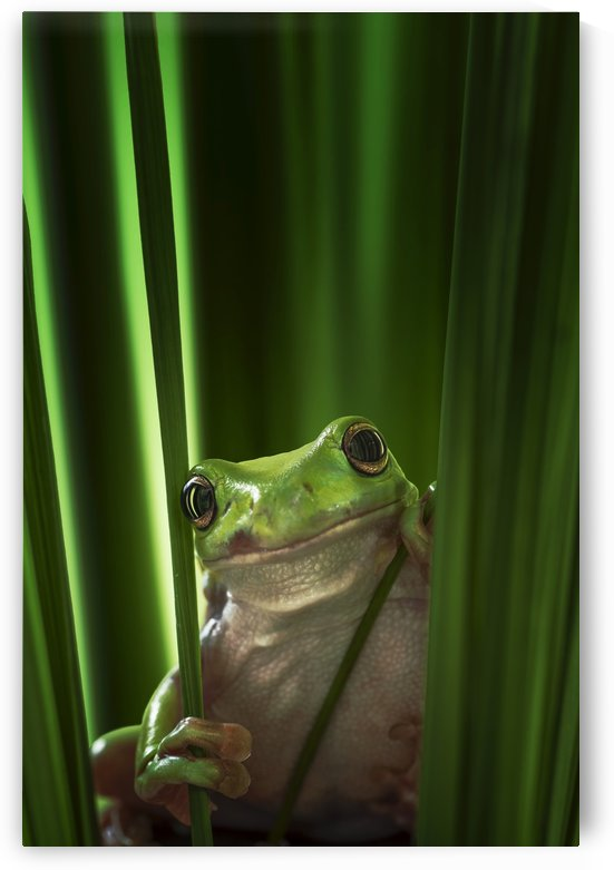 Green Frog by 1x