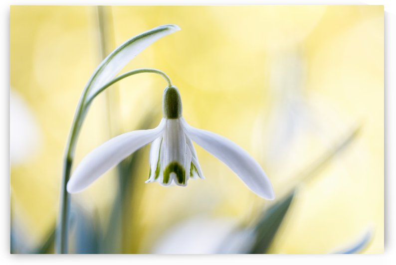 Snowdrops by Mandy Disher  by 1x
