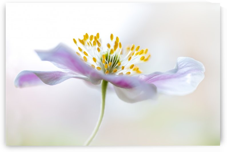 Wood Anemone by 1x