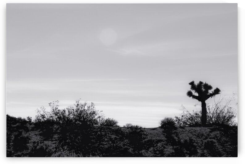 cactus in desert at Red Rock Canyon California USA in black and white by TimmyLA