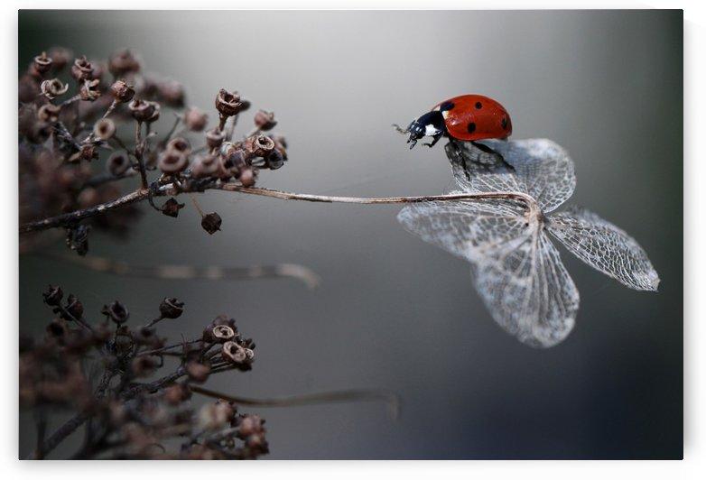 Ladybird on hydrangea. by 1x