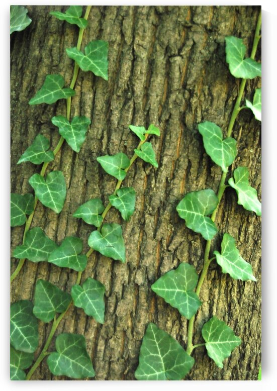 ivy on tree by Tony Tudor