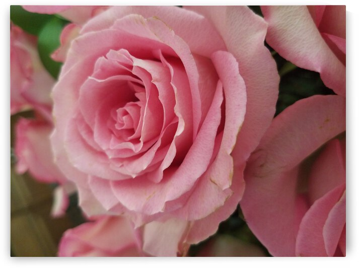 Pink Rose by Emily Johnson