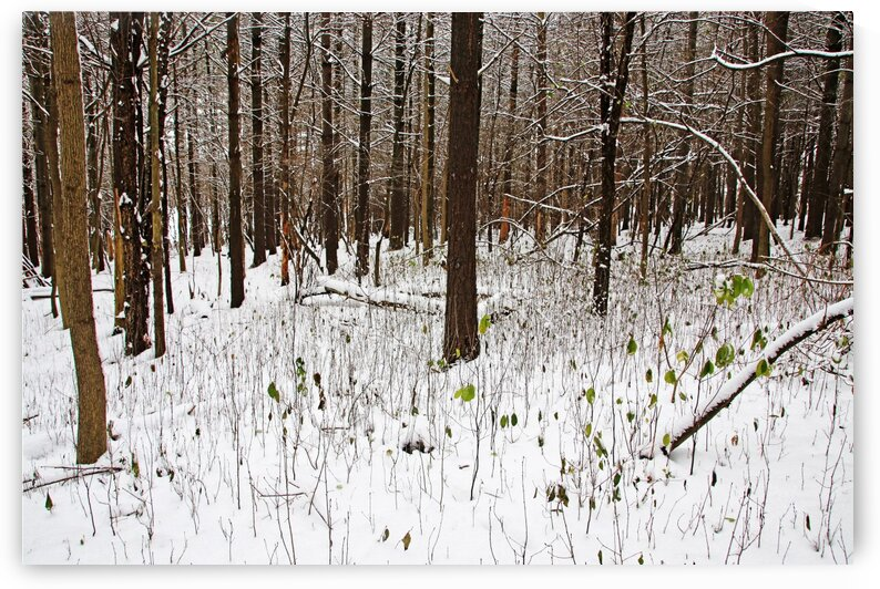 Dashes Of Green In Winter Forest by Deb Oppermann