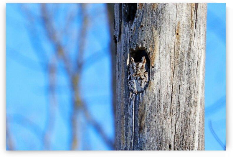 Eastern Screech Owl In Tree Cavity by Deb Oppermann