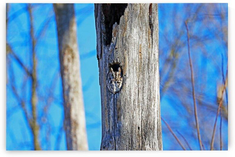 Sleepy Eastern Screech Owl by Deb Oppermann