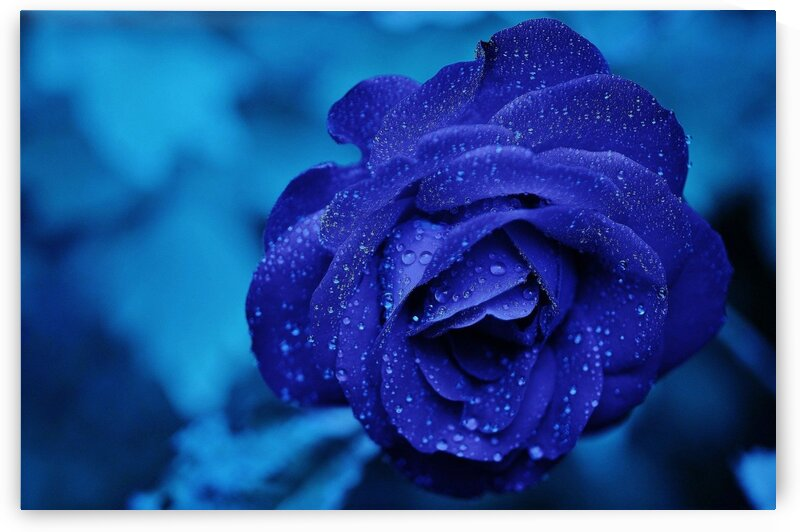 Blue Rose by Lovely and Nicely