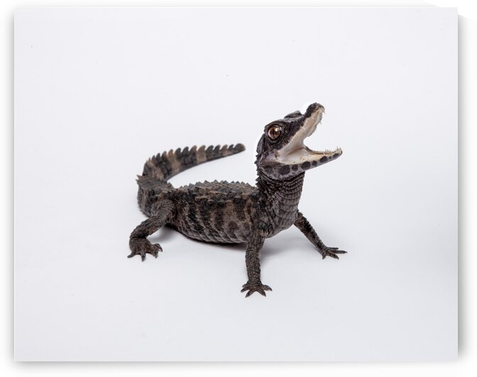 Crocodile SeanMurphyPhoto  by Sean Murphy Print Shop