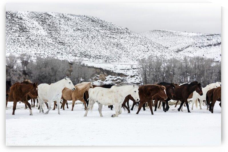 A mixed herd of wild and domesticated horses by Tony Tudor