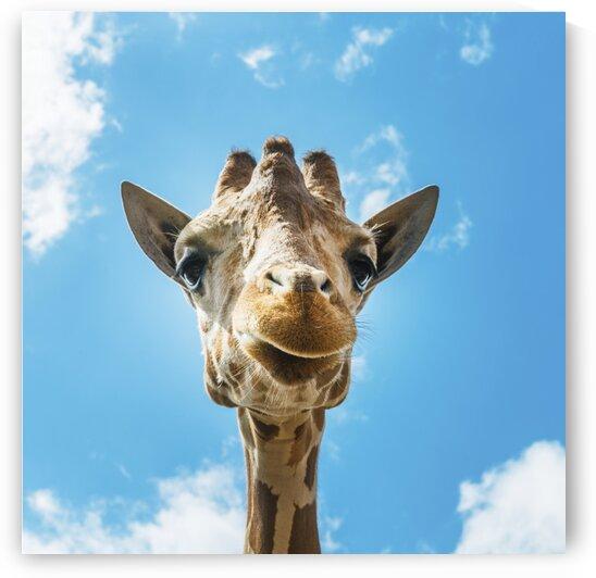 An up close look at a giraffe by Tony Tudor