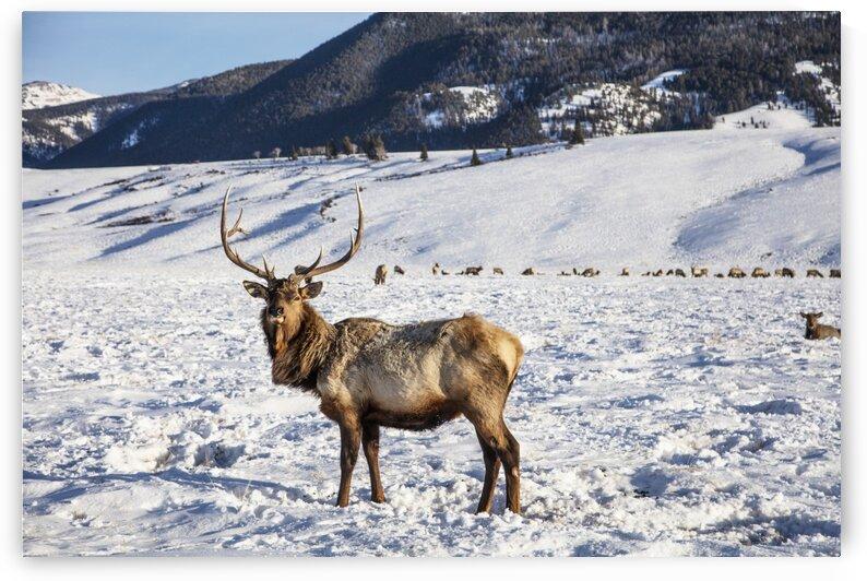 Elk by Tony Tudor