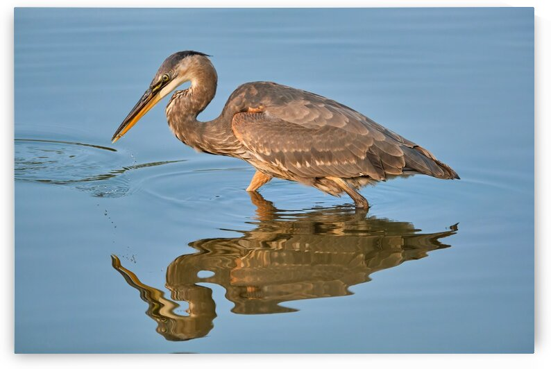 Blue Heron by Andrew Wasik