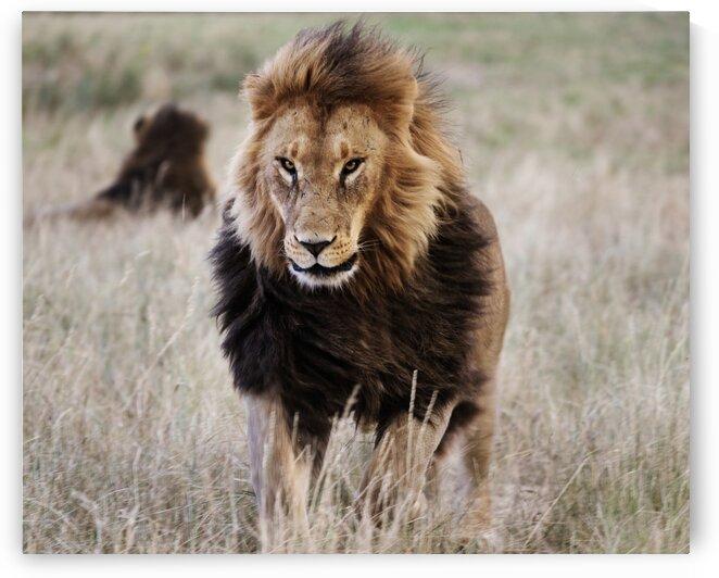 Lion in the grass by Tony Tudor