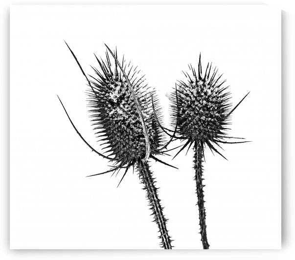 Winter Teasel Black And White by Deb Oppermann