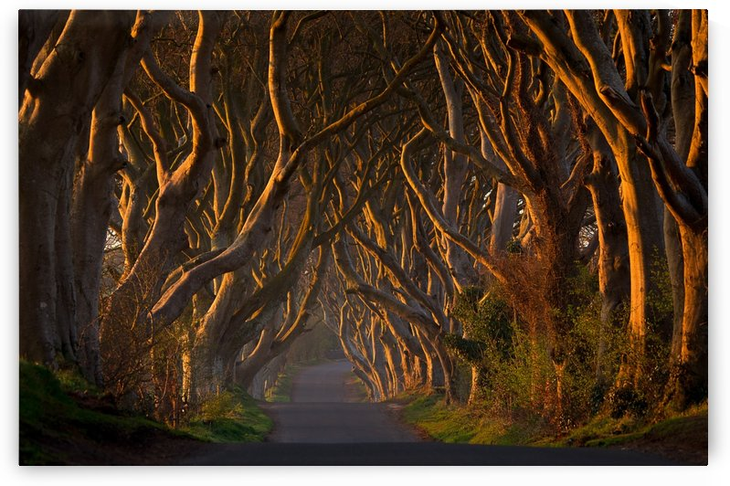 The Dark Hedges in the Morning Sunshine by 1x