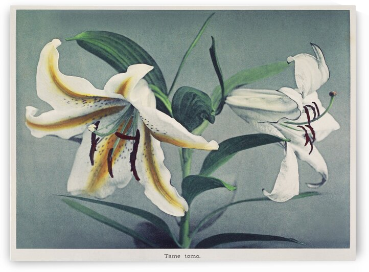 Lily  handcolored collotype from Some Japanese Flowers by Tony Tudor