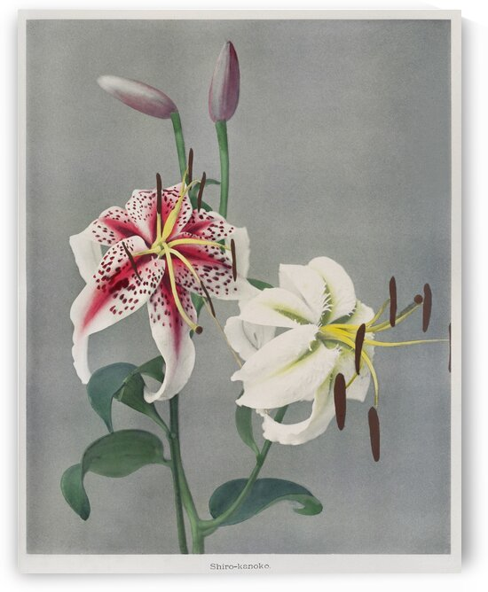 Lily  hand   colored collotype from Some Japanese Flowers by Tony Tudor