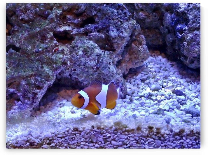 Clown Fish by by Tara