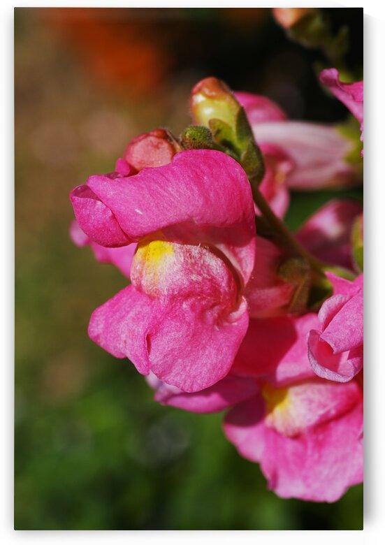 Snapdragon Flower Kamikaze In Pink by Joy Watson