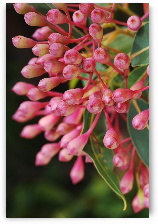 Corymbia Ficifolia Eucalyptus Pink Flower Buds by Joy Watson