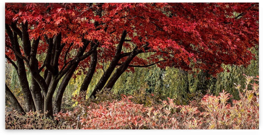 FS091104 Maple by FOTOSQUARES COM