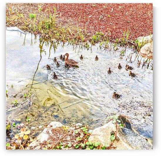 Spring Ducklings by 24