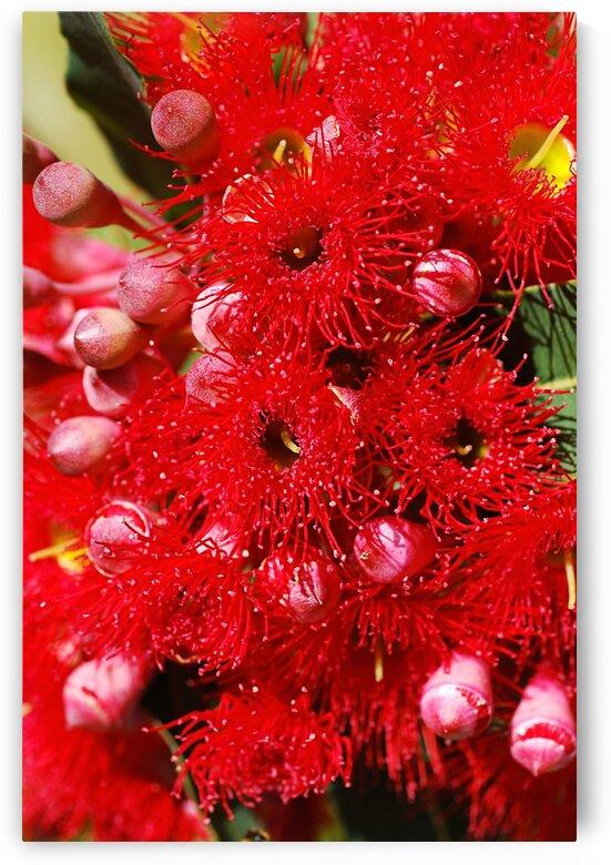Eucalyptus Red Flowers Corymbia Ficifolia  by Joy Watson