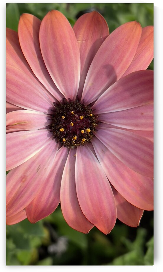pinky pink daisy by Christy Val