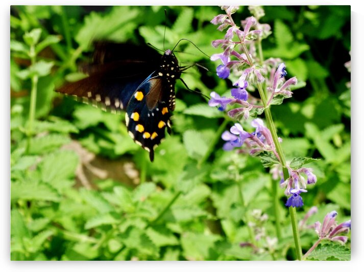 Pipevine Swallowtail 2 by by Tara