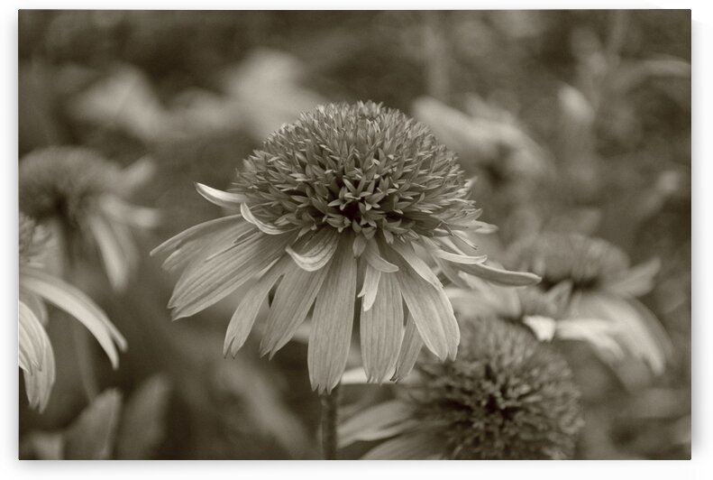 Cone flower by Lynn Prudhomme Mills