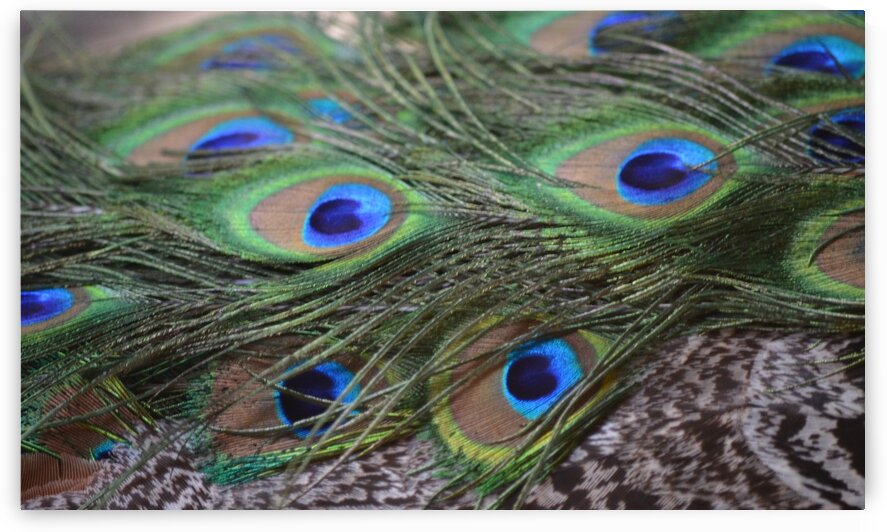 Peacock Feathers by Lynn Prudhomme Mills