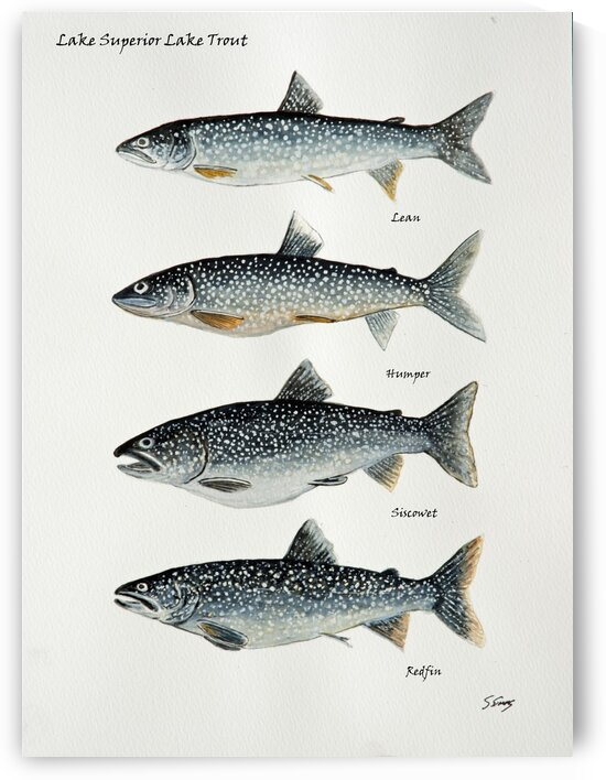 Lake Superior Lake Trout by Stephen Emms