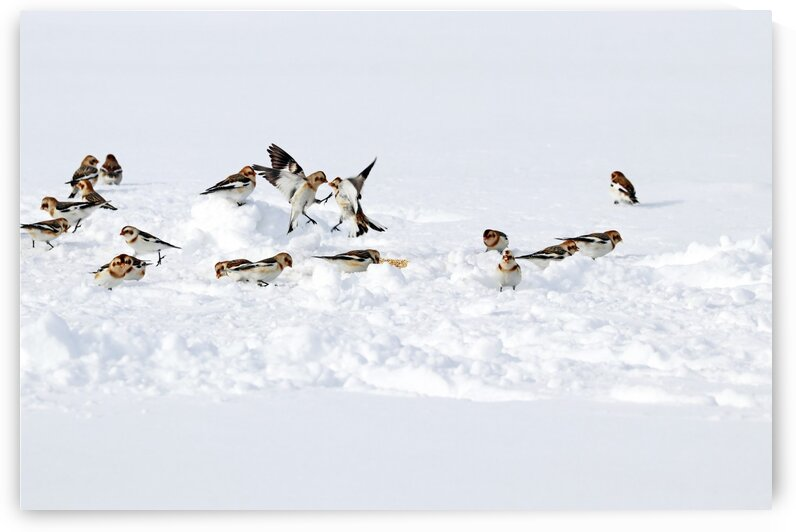 Squabbling Snow Buntings by Deb Oppermann