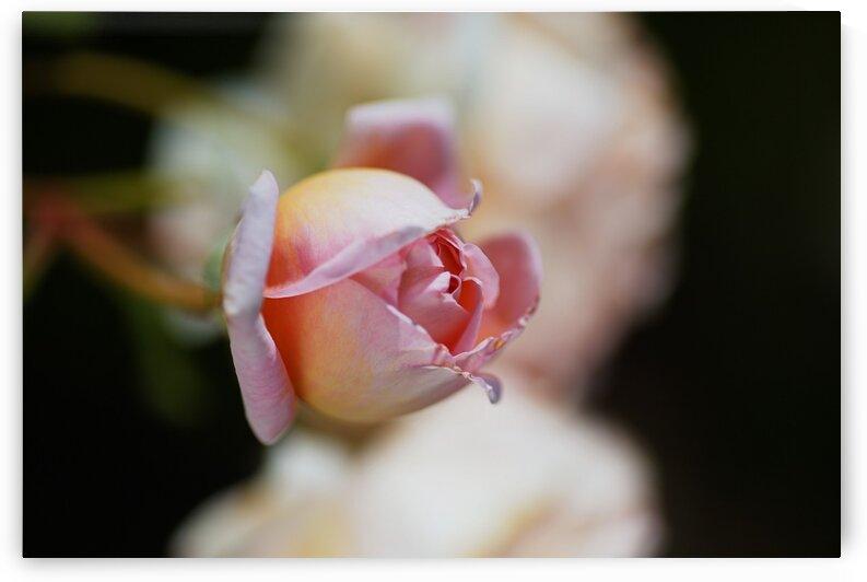 Abraham Darby Rose Pink by Joy Watson