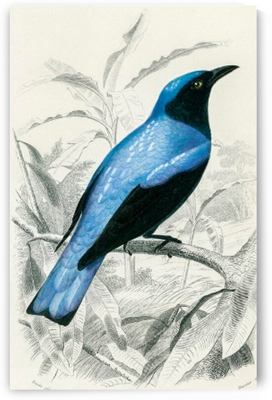 Square-tailed drongo Edoius caerulescens illustrated by Mutlu Topuz