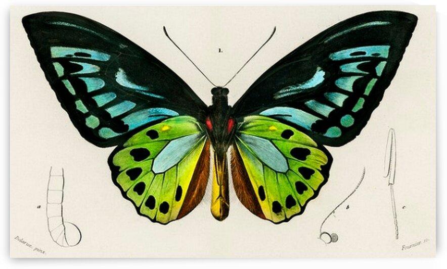Green birdwing Ornithoptera priamus illustrated by Mutlu Topuz