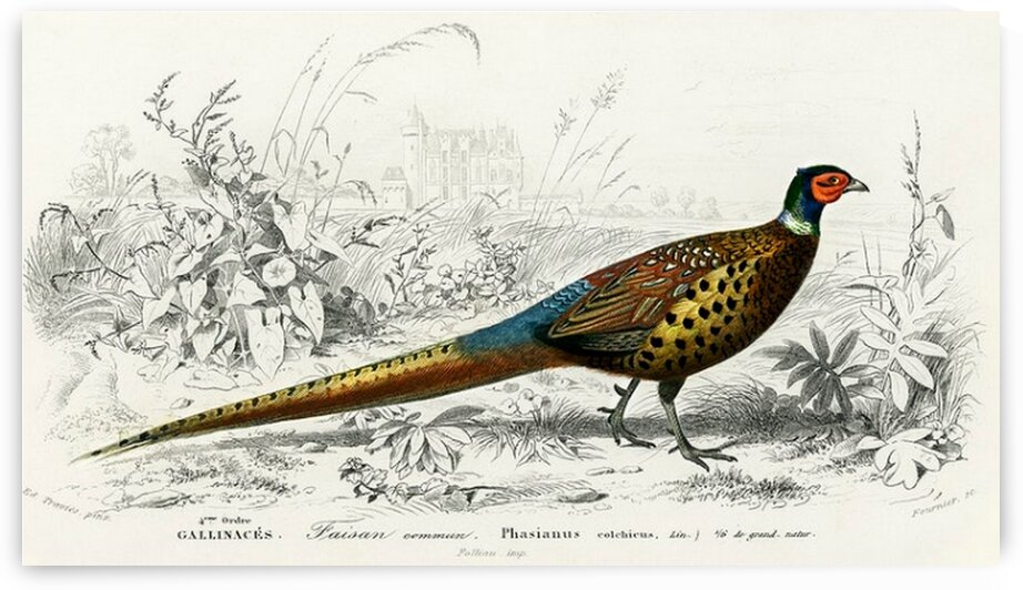 Ring-neckrd pheasant Phasianus colchicus illustrated by Mutlu Topuz