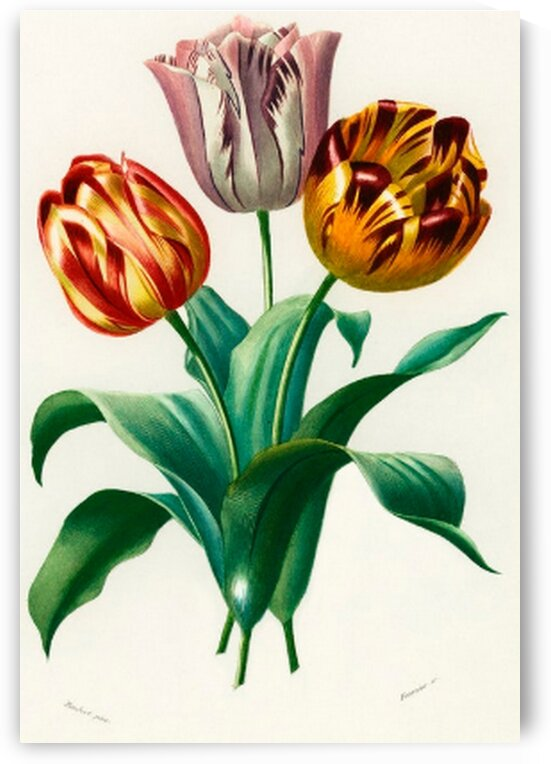 Didiers tulip Tulipa gesneriana illustrated by Mutlu Topuz